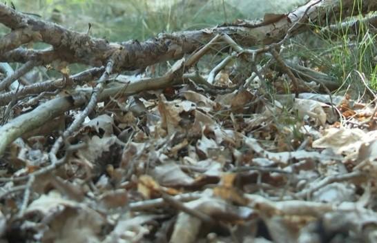 Mungesa e shiut dhe temperaturat e larta janë duke shkaktuar një situatë dramatike për pyjet në Gjermani