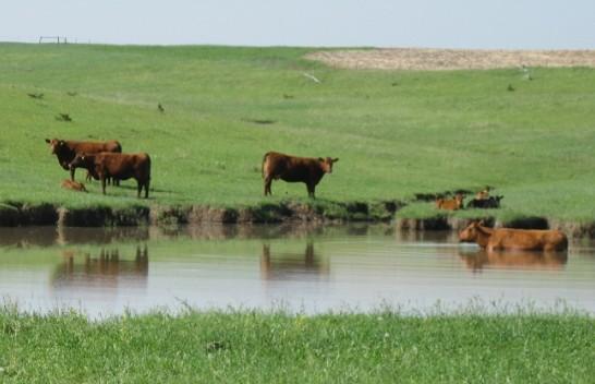 Instituti i Shëndetësisë: Kujdes në ambiente me pellgje uji afër kullotave, mund të sëmureni nga leptospiroza