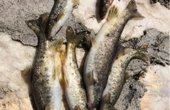 Ngordhin peshqit në lumin Dri nga kontaminim i ujit
