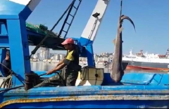 Kapet peshkaqeni 'tigër' 500 kilogramësh me 15 këlyshë në detin Adriatik