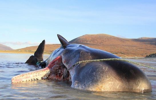 Pamje të tmerrshme: Gjenden 100 kilogramë mbeturina në stomakun e balenës