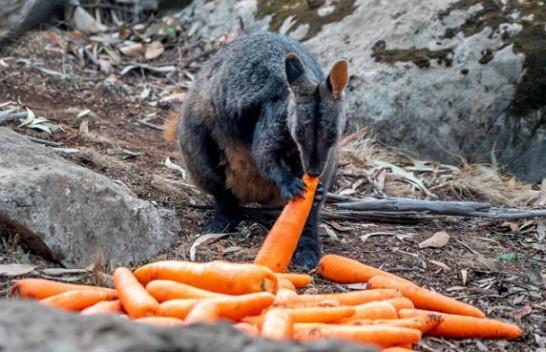 Zjarret në Australi: Karota dhe patate të ëmbla për kafshët e uritura