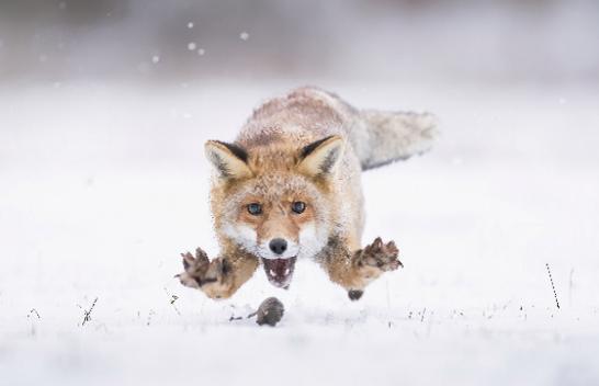 E pabesueshme/ Fotografi kap momentet dramatike kur dhelpra hidhet në miun e vogël në dëborë