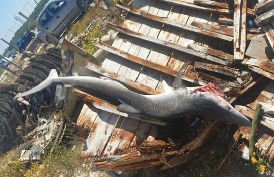 Kapet në Vlorë peshkaqeni më i rrezikshëm, tri metra i gjatë