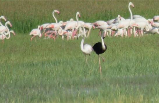 Fenomen i rrallë në Turqi, shfaqet flamingo e zezë