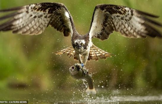 Fotografi mahnitëse të shqiponjës duke zënë peshk