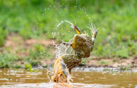 Fotografi të pabesueshme të bretkosave rivale që luftojnë për të drejtën e çiftimit