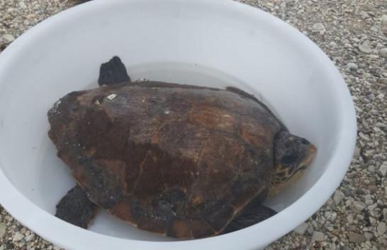 Në brigjet e Himarës gjendet një breshkë e rrallë [Foto]