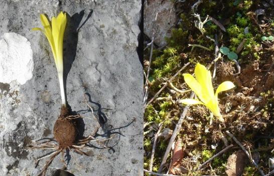 Flora e Kosovës pasurohet edhe me një gjini dhe lloj të ri