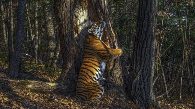 Tigri që përqafon pemën, shpallet fotografia më e mirë nga bota e egër [Foto]
