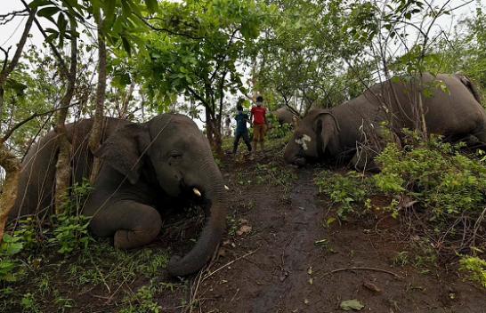 U goditën nga rrufeja, gjenden të ngordhur në pyll tufa e elefantëve në Indi