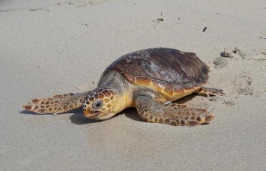 Breshka e detit kthehet në habitatin e saj